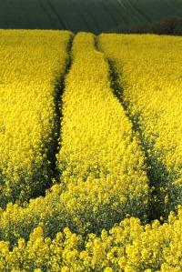 Flowering_rapeseed_4